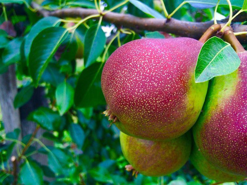Pear Fruit :)
