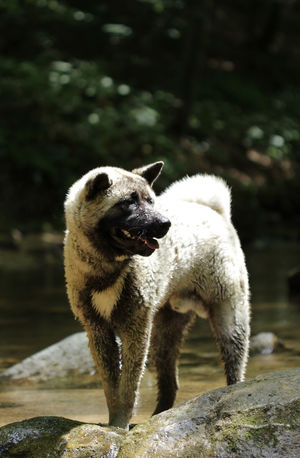 Akita Akita Dog Akitas American Akita Breed Refreshment Animal Themes Animals In The Wild Dog Mammal Nature No People One Animal Outdoors Pet Pets Rock - Object Spring Standing Stream Summer Sunny Day Water Wet Young Animal