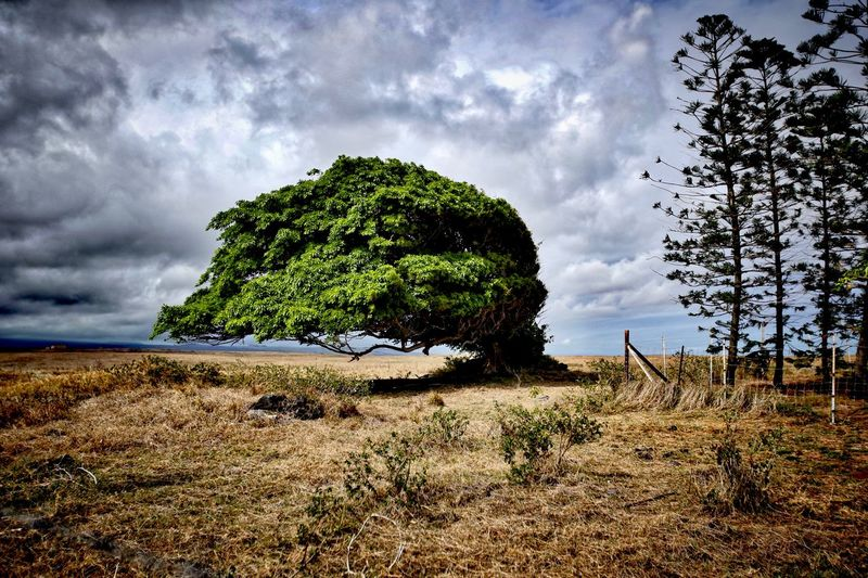 Amazing tree bent over from strong ocean winds on the Big Island of Hawaii in Volcano National Park Beauty In Nature Bent Cloud Cloud - Sky Cloudy Day Field Grass Growth Landscape Nature Not Broken Yet Overcast Perseverance Plant Scenics Sky Storm Storm Cloud Strength Struggle Tranquil Scene Tranquility Tree Tree