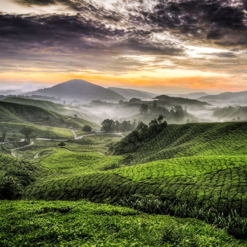 Precision Sungeipalas Morning tea farm