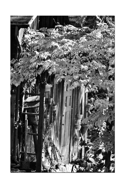 The Barn 3 Dry Creek Garden Old Barn Wood Structure Rustic Weathered Architecture Entrance Door Trellis Tree Leaves Hanging Clay Pots Loops Of Barbed Bire Garden Photography Nature Nature_collection Beauty In Nature Monochrome Lovers Monochrome Black & White Black & White Photography Black And White Black And White Collection  Landscape_Collection Dry Creek Pioneer Regional Park Creeper Entryway