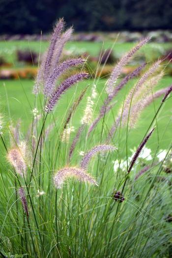 Beauty In Nature Botany Flower Freshness Grass Nature Outdoors Plant Stem