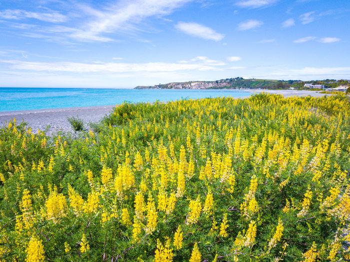Yellow flowers growing on field by sea against sky