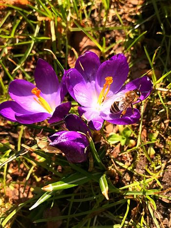 Animal Themes Springtime Spring Bee Flowering Plant Purple Flower Plant Growth Beauty In Nature Freshness