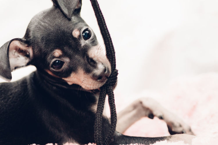 Portrait Of Miniature Pinscher Puppy Sitting On Rug