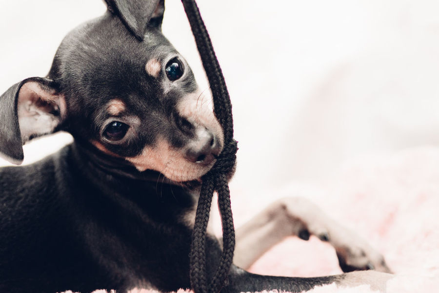Capture The Moment Cheese! Cord Cute Pets Dog Drastic Edit EyeEm Best Edits Family Eyes Face Faintly Colors - 仄か Animals Lovely Miniature Pinscher Minipin Minipinscher Muted Colors Home Is Where The Art Is My Pet Pastel Play Playing Playing With The Animals Puppy String Pet Portraits