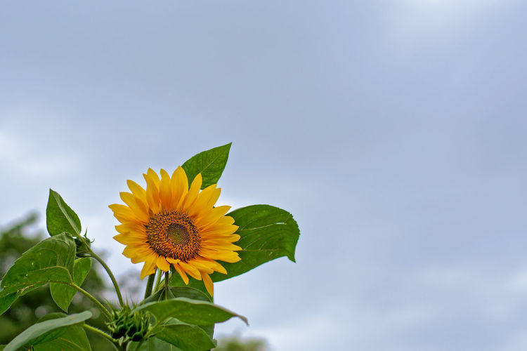Sunflower (Helianthus annuus) with blue sky with fluffy clouds, lots of copy space Cloudy Copy Space Farm Ornamental Plant Beauty In Nature Blooming Botanical Botany Close-up Crop  Flower Flower Head Flowers Freshness Garden Helianthus Annuus Leaf Low Angle View Nature Petal Sun Flower Sunflower Yellow