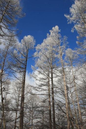 小諸市の霧氷 Tree Sky Low Angle View Nature Winter Scenics - Nature Cold Temperature Blue White Winter Trees Nagano Cloud - Sky