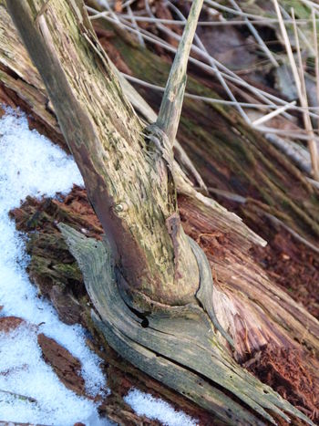 Coming an going in winter time ... :-) Art And Craft ArtWork Branches And Leaves Broken Tree Close-up Cold Day Cold Temperature Cold Weather Coming And Going Day Forest Art Gnomes Home Gone But Never Forgotten Gone But Not Forgotten Nature Nature Art Nature Artwork No People Outdoors Snow Textured  Winter Forest Wood - Material Wood Art Wood Structure