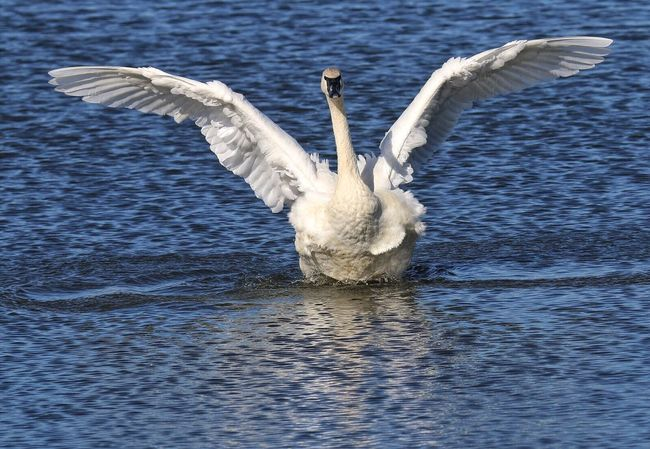 Trumpeter Swan Spread Wings One Animal Flapping Swan Lake Animals In The Wild Bird Wingspan Large Bird Largest Living Waterfowl Arkansas Winter