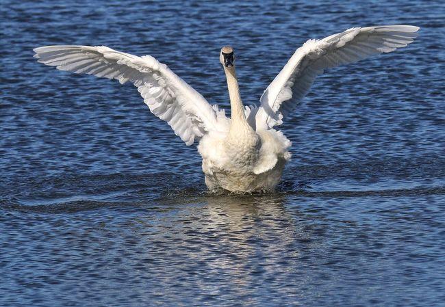 Trumpeter Swan Spread Wings One Animal Flapping Swan Lake Animals In The Wild Bird Wingspan Large Bird Largest Living Waterfowl Arkansas Winter