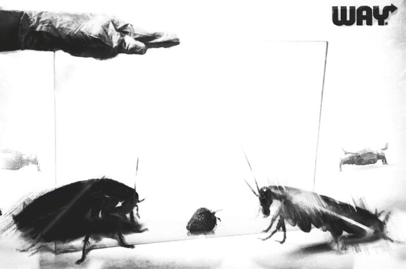 la guerre des insectes Fraise Negative Space Preparation  Experience Monochrome Variation White Background Animal Themes Indoors  Day No People Mammal Close-up