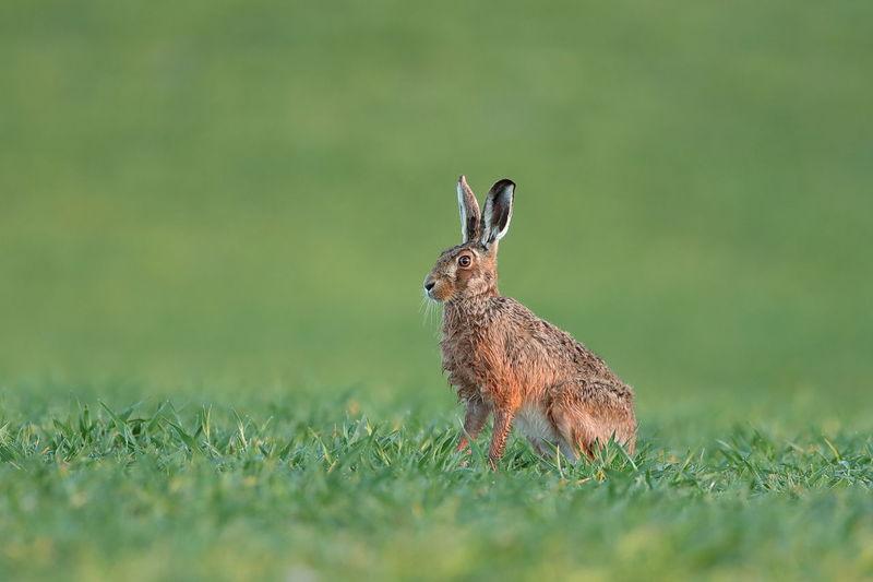 An european hare up close