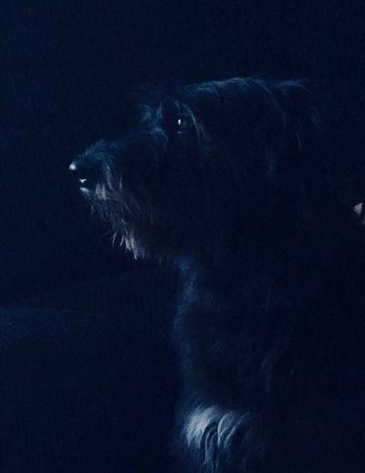 Wilbert, Irish Wolfhound Cross Rescue Dog Irish Wolfhound Cross One Animal Mammal Animal Animal Themes Pets Domestic Animals Domestic One Animal Mammal Animal Animal Themes Pets Domestic Animals Domestic