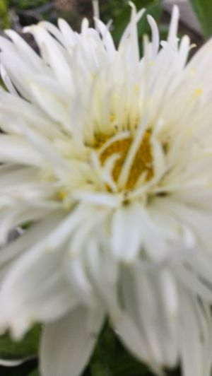 Soft Focus Flower Head Double Daisy White Color White Flower Washington State My Own Thing Eastern Washington
