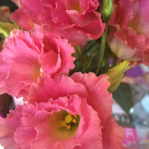 Blooming Flower Flower Head Fragility Freshness Motherday Motherdaypresent Pink Pink Color Softness