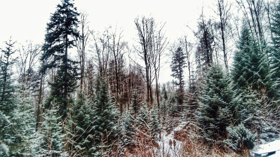 Close-up of snow covered trees in forest