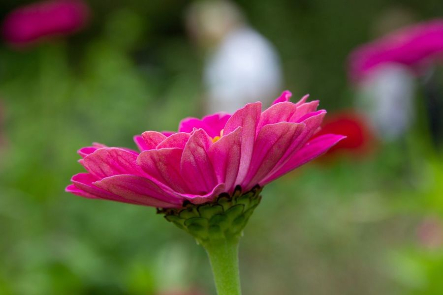 Blossom Plant Flowering Plant Flower Pink Color Vulnerability  Freshness Beauty In Nature Focus On Foreground Flower Head Fragility Close-up No People Growth Petal Inflorescence Nature Day Plant Stem Outdoors Sepal