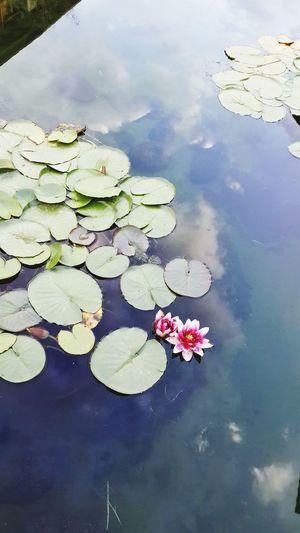 Beauty Flowers Water Flowers Water Colour
