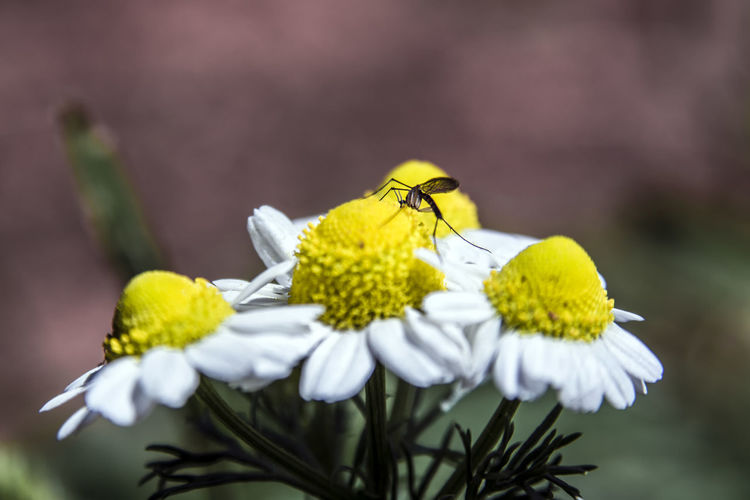 Natural BeautyMacro World Check This Out Macrophotography Mosquito Flowers Chamomile Smellsgood Smelling The Flowers Greece Like Nikon D5200 Christopher Kokkalis Mosquito Bite Nikon
