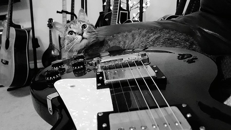 Poser Hanging Out Taking Photos Relaxing Enjoying Life Guitar Love That View Guitar Guitarlove Cats Of EyeEm Capo My Boy Houseofguitars Guitars Rescuecat Rockstar Coco'sPics Hi! Cheese! Gibson Les Paul Blackandwhite Blackandwhite Photography Guitar Addiction Capokitty EyeEm Animal Lover
