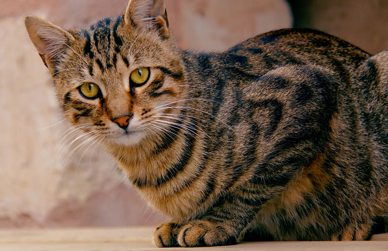 Curious Feline, Tomcat, Tom, Kitten, Mouser; Alley Cat; Kitty, Furball; Alertness Animal Head  Animal Themes Cat Curiosity Domestic Animals Domestic Cat Feline Looking At Camera Lying Down Mammal One Animal Pets Portrait Relaxation Relaxing Sitting Whisker Zoology