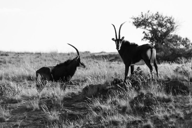 Antelopes Standing On Field Against Clear Sky