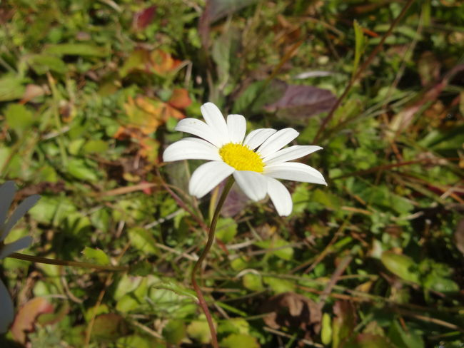 Beauty In Nature Blooming Blossom Botany Close-up Daisy Day Flower Flower Head Focus On Foreground Fragility Freshness Green Color Growing Growth In Bloom Nature Outdoors Petal Plant Pollen Single Flower Springtime Stem White Color