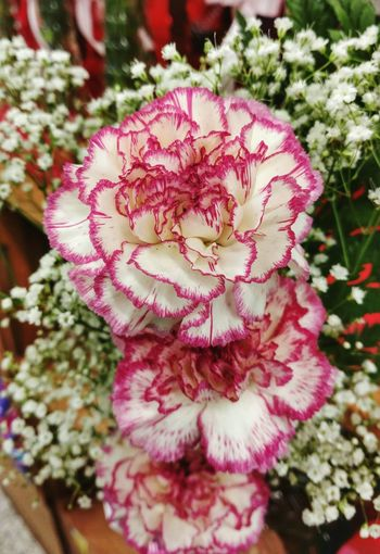 Carnations! Love Carnations 💖 Pink Flowers Green Background Nature Focus On Foreground Close-up Beauty In Nature Flower Head Growth Freshness Pink Color No People Flower Plant Variegated Pink & White Baby's Breath Baby's Breath Flower Delicate Pretty EyeEm Gallery Cell Phone Photography