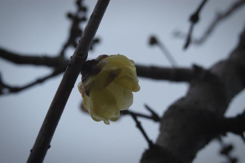 Nature Fragility Low Angle View Close-up Beauty In Nature Flower Yellow Sky Flower Head 雨 Rain 蝋梅 ロウバイ