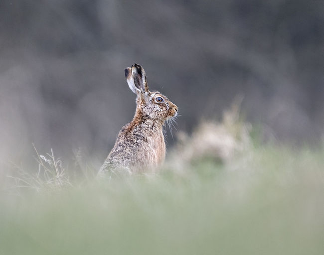 Hare in grass field