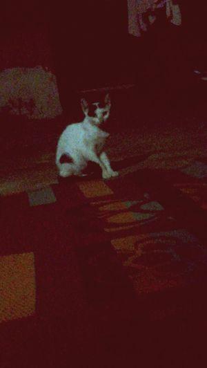Bastet cat Pharaoh Pharaoh Cat Bastet Mythology Cat Looking At Camera Pets Domestic Cat Red Dog Cute