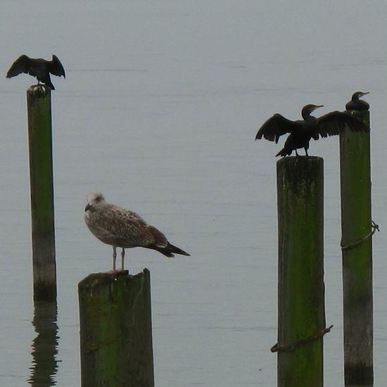 Pause Birds Kormorane Eeyemnature Amimals Nature Water_collection Nature Photography Animal_collection Eeyemphotography EyeEm Birds