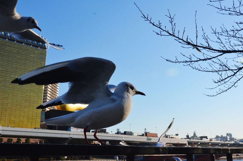 Photography In Motion Flock Of Birds Seagull Birdwatching Urbanexploration TakeOff Cityscapes Tokyo Cityexplorer Animal Themes Showing Imperfection