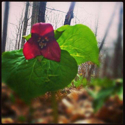 Spring time Weldon parkTrillium Flowers