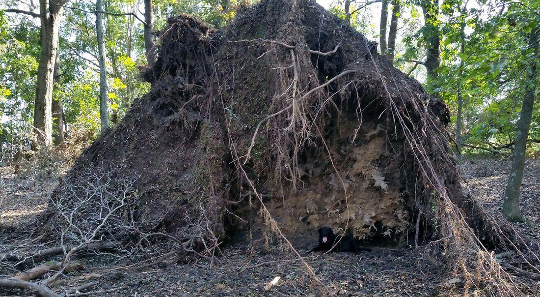 《 Pete is huge. Tree was massive! 》 Hurricane Michael 2018 Fallen Tree Wind Damage Nature Storm Damage Dog Pets Alabama