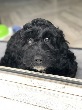 Alfie Cockerpoo One Animal Domestic Mammal Pets Domestic Animals Dog Canine Close-up Portrait Looking Black Color No People Day