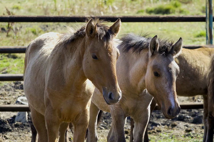 Mammal Group Of Animals Domestic Animals Domestic Livestock Animal Themes Pets Animal Horse Two Animals Vertebrate Land Field No People Day Focus On Foreground Animal Wildlife Young Animal Standing Nature Herbivorous Outdoors Animal Family Ranch Animal Pen