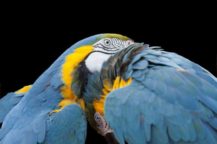 Close-Up Of Parrots Against Black Background