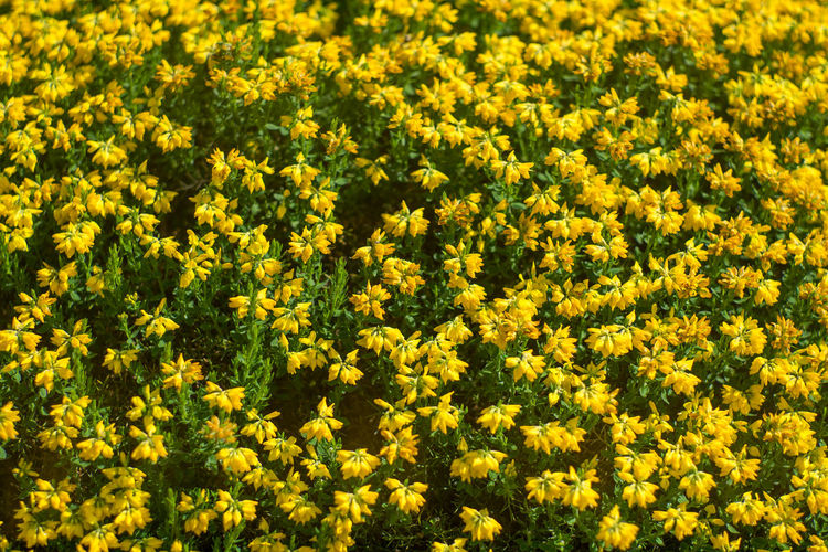 Abundance Backgrounds Beauty In Nature Flower Flower Head Flowerbed Flowering Plant Fragility Growth No People Outdoors Plant Springtime Yellow
