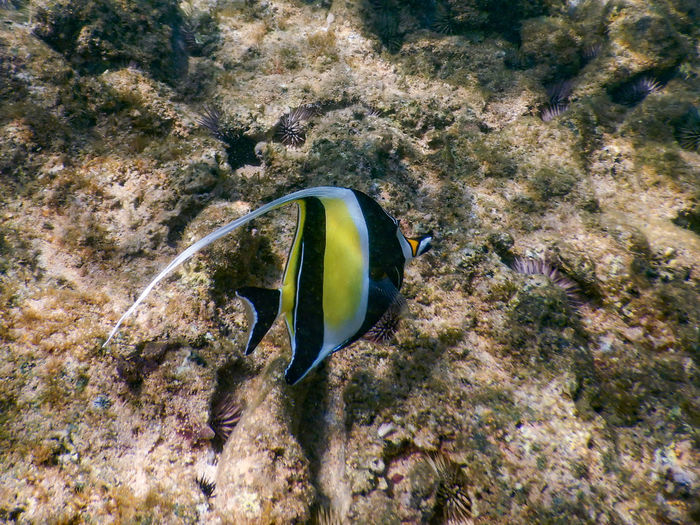 Animal Themes Animals In The Wild Beauty In Nature Close-up Coral Fish One Animal Outdoors Reef Sea Sea Life Swimming UnderSea Underwater Water One Fish Yellow Fish Maui Hawaii