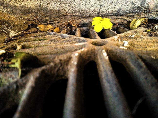 Gutterflower Beauty Of Decay Spring Is Coming  Flower Daylight Photography Simplicity Drain Backgrounds Full Frame Close-up Rugged Rough Textured  Eroded Flower Head #urbanana: The Urban Playground