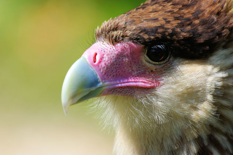Caracara Pink Animal Head  Beak Bird Of Prey Blue Close-up Outdoors Portrait Predatory Southern Crested Caracara