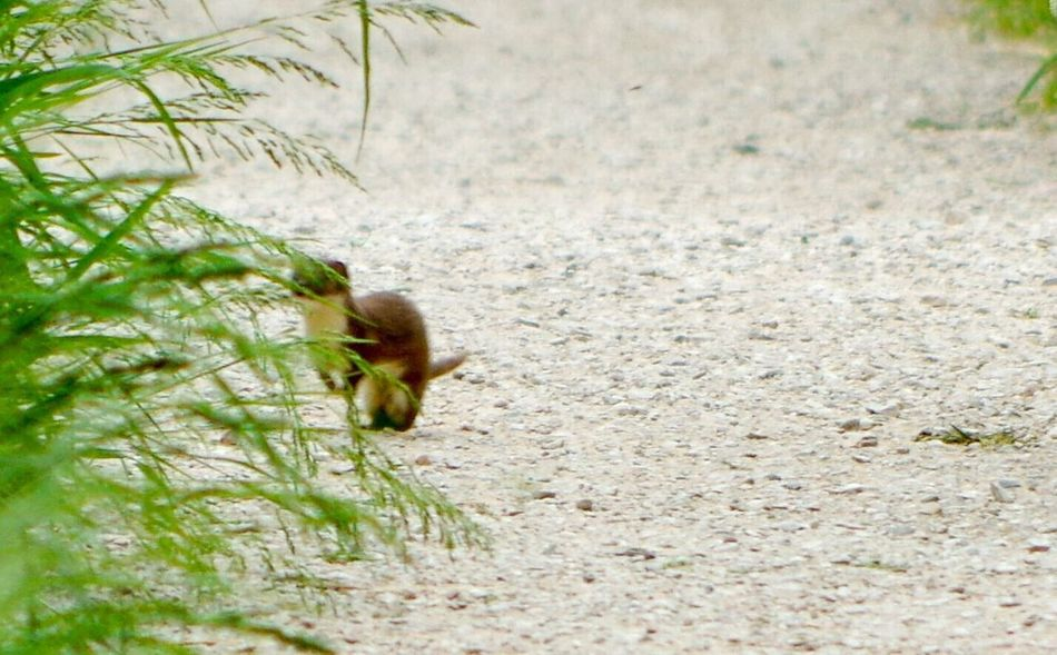 Baby Stoat looking for its mum One Animal Animals In The Wild Animal Themes Animal Wildlife Nature Stoat Check This Out Wildlife & Nature Wildlife Photography Wildlife Beauty In Nature Nature Photography Nature Wildlifephotography Outdoor Photography Wildlife Photos Animal Photography EyeEm Best Shots EyeEm Best Shots - Nature EyeEm Nature Lover Animals In The Wild Animals