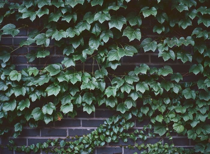 Full frame shot of ivy growing on wall