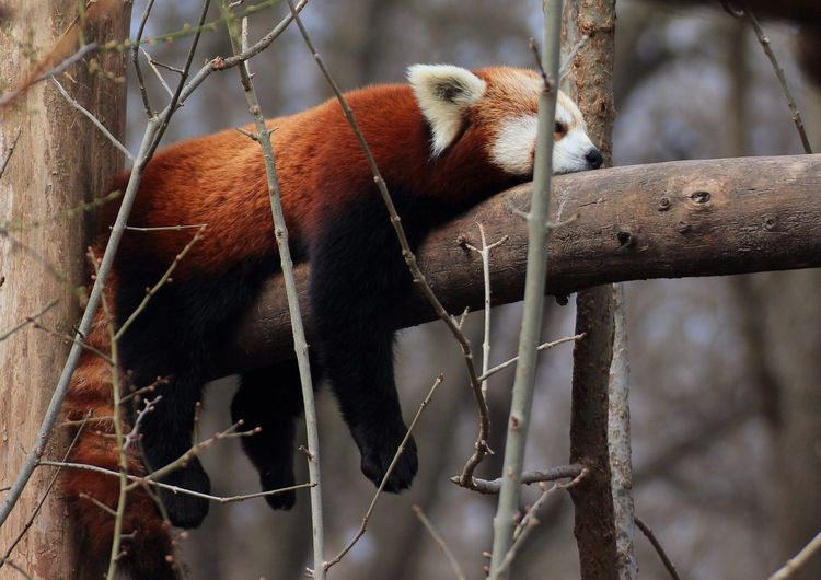 Red Panda Resting On Branch At Forest