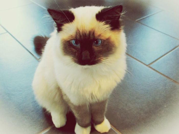 my sweet little ragdoll? Cat Kitten Cute Pets