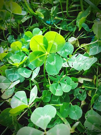 4 Leaf Clover Clover Lucky Luck Of The Irish Irish Tranquil Scene Low Angle View Leaf Growth Green Color Plant Nature Beauty In Nature Freshness Outdoors Close-up Fragility No People Day Growth Pacific Northwest  Autumn Oregon