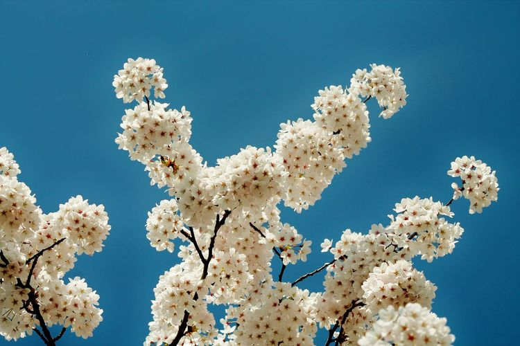 Low Angle View Of White Flowers Against Blue Sky