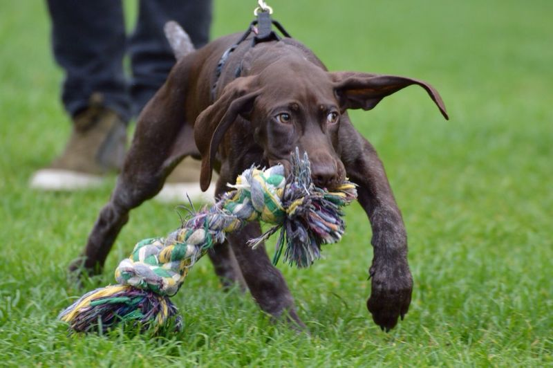 Dog With Owner Playing Rope Toy